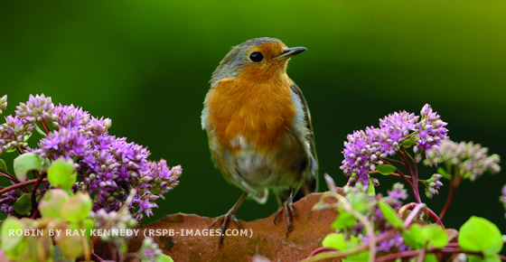 ROBIN BY RAY KENNEDY (RSPB-IMAGES.COM)